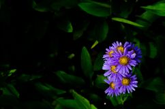 Sunlight shining at Tatarian aster Aster tataricus lilac tiny flowers blooming with water drop royalty free stock photos