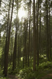 Sunlight shining through trees in forest Royalty Free Stock Images