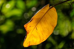 Sunlight shining through yellow leave with green background Royalty Free Stock Photography
