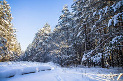 Sunlight in snow winter forest. January Royalty Free Stock Image