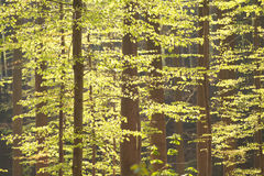 Sunlight in spring beech forest Stock Photos
