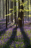 Sunlight in spring forest with flowering hyacinth royalty free stock photography