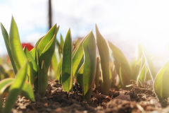 Sunlight on sprout tulips Royalty Free Stock Image
