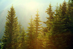 Sunlight in spruce forest in the fog on background of mountains Royalty Free Stock Photography