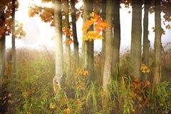 Sunlight streaking through foggy trees. Stock Photos