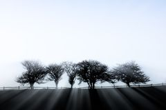 Sunlight streaming through five fog enshrouded trees. Stock Photo
