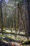 Sunlight Through the Trees, Mossy trees in Forest Meadow stock photo