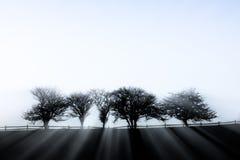 Free Sunlight Streaming Through Five Fog Enshrouded Trees. Stock Photo - 38267460