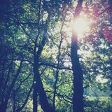 Sunlight streaming through trees  Royalty Free Stock Photos