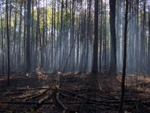 Sunlight Through the Trees of a Charred Forest after Controlled Burn. Sunlight streaming through the trees and morning fog into a charred forest, recently burnt royalty free stock image