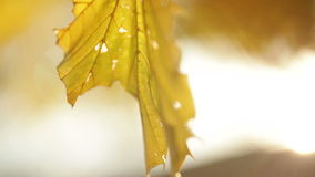 Sunlight streaming through yellow leaves on tree branch. Video of sunlight streaming through yellow leaves on tree branch stock video footage
