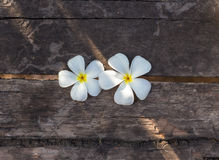Sunlight strikes frangipani Stock Photography
