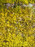 sunlight struck wall with green and yellow lichen moss growing b Stock Images