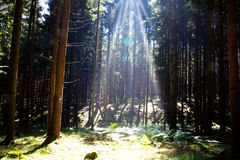 Sunlight in the summer forest. Sunlight in the green forest.Beautiful morning scene in the forest with sun rays and long shadows royalty free stock photography