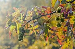 Sunlight on a sweet gum tree. Bright sunlight shining on a branch of a sweet gum tree liquidambar styraciflua in autumn with colorful star-shaped leaves and stock photos