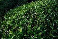 Sunlight on tea leaves in the mountains in Sri Lanka royalty free stock photos