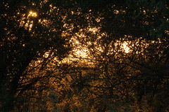 SUNLIGHT THROUGH THICKET. Sunburst seen through leaves of trees royalty free stock images