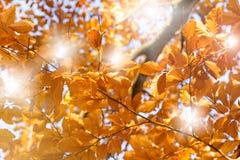 Sunlight thru autumn leaves Royalty Free Stock Photos