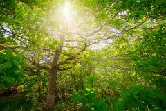 Sunlight thru the foliage of a oak tree Royalty Free Stock Images