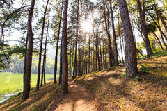 Sunlight through the top of green pines Royalty Free Stock Photos