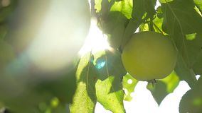 The sunlight tree apple morning agriculture green garden slow motion video. Sunlight tree apple morning agriculture green garden slow motion video stock video