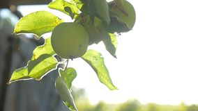 The sunlight tree apple morning green agriculture garden slow motion video. Sunlight tree apple morning green agriculture garden slow motion video stock video