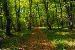 Sunlight between tree crowns, footpath Royalty Free Stock Photography
