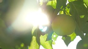 The sunlight tree morning apple agriculture green garden slow motion video. Sunlight tree morning apple agriculture green garden slow motion video stock video