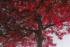 Sunlight on tree with red leaves landscape stock image