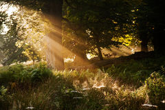 Sunlight through trees Royalty Free Stock Image