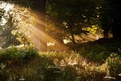 Sunlight through trees. Early morning golden sunlight through trees Royalty Free Stock Image
