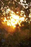Sunlight through trees. Sunset through full frame of branches of trees Royalty Free Stock Photography