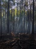 Sunlight Through the Trees of a Charred Forest after Controlled Burn. Sunlight streaming through the trees and morning fog into a charred forest, recently burnt royalty free stock photo