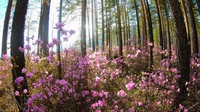 Sunlight through the trees in the forest among the pink flowers of Rhododendron. Sunlight through the trees in the forest among the pink flowers of the stock video footage