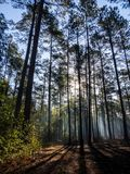 Sunlight Through Trees in Sparse Forest stock photo