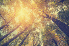 Sunlight through the treetops. Sun shining through colorful leaves. Vintage toned picture Stock Images