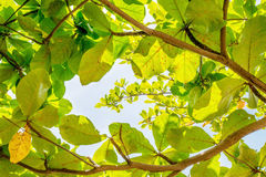 Sunlight trough leafs. Sunlight trough the Malabar leafs on the spring season stock photography