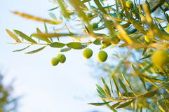 Sunlight on a twig of an olive tree Royalty Free Stock Images