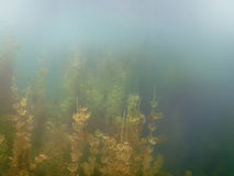Sunlight Underwater freshwater flora rivers, lakes, pond. Surfac Stock Photography