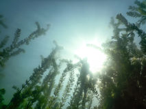 Sunlight Underwater freshwater flora rivers, lakes, pond. Surfac Royalty Free Stock Photography