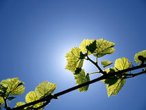 Sunlight through the Vines 1. Grape vine leaves back lit by sunshine on a clear summer day Royalty Free Stock Photo