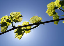 Sunlight through the Vines 2. Grape vine leaves back lit by sunshine on a clear summer day Stock Photos
