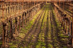 Sunlight on the vines. Dormant grape vines in the warm California sun as new grass begins to grow as another season starts in Californias wine county Stock Image
