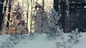Sunlight in winter forest. Backlight trees in snowy scene. Sunset in forest stock video