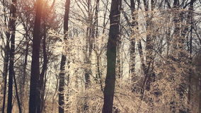 Sunlight in winter forest. Sun shine through tree branches covered with snow. Panorama from sun to trees and snow. Sun rays in winter forest. Snow covered tree stock video