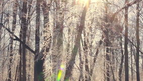 Sunlight in winter forest. Sun shine through tree branches covered with snow. Winter wonderland. Sun flare in winter tree. Sun rays in winter forest. Snow stock video