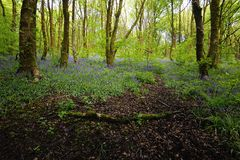 Sunlight on the Woodland Bluebells Royalty Free Stock Photography