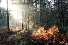 Sunlight on woodland bracken. Autumn shafts of early morning sun lighting up bracken in woodland Royalty Free Stock Image