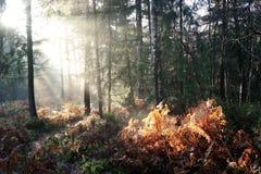 Sunlight on woodland bracken Royalty Free Stock Image