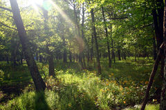 Sunlight and the woods. Sunlight peeking through the thick forest Stock Photography